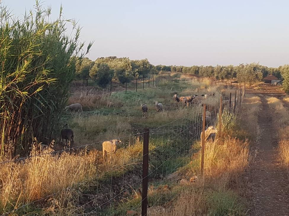 Córdoba�nica.- El pastoreo, alternativa para el mantenimiento de la vía verde de La Campiña
