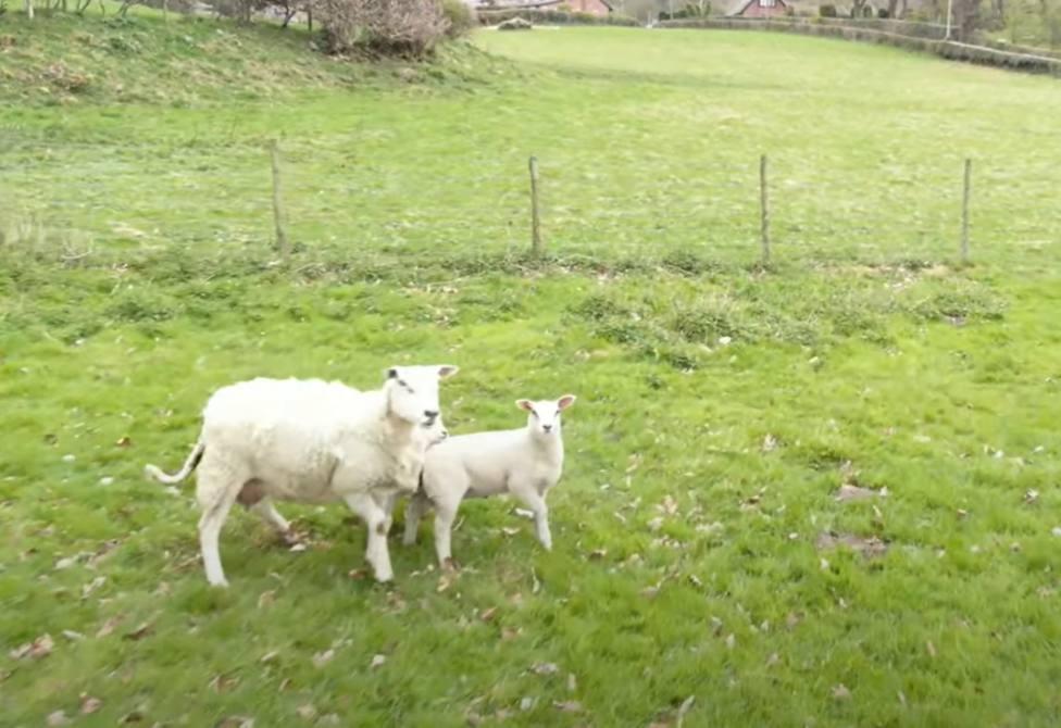 Una oveja junto a su cría observa un dron de pastoreo y esta es su sorprendente reacción