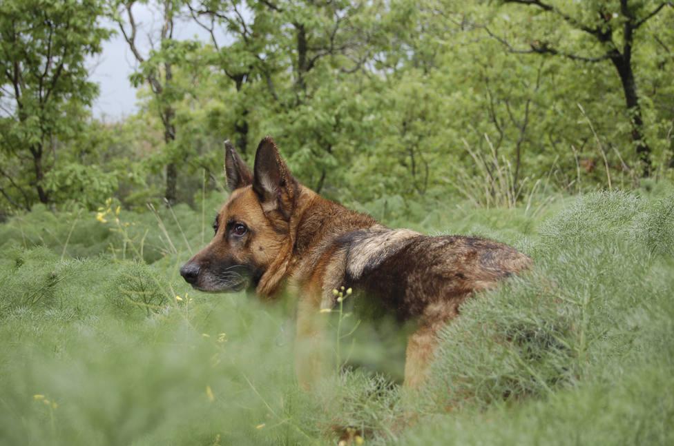 Foto de archivo de un perro de raza pastor alemán - FOTO: Efe