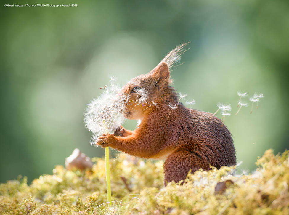 red squirrel is holding dandelion seeds
