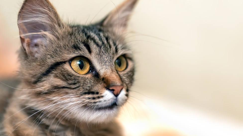 ¿Por qué se dice que los gatos tienen 7 vidas?
