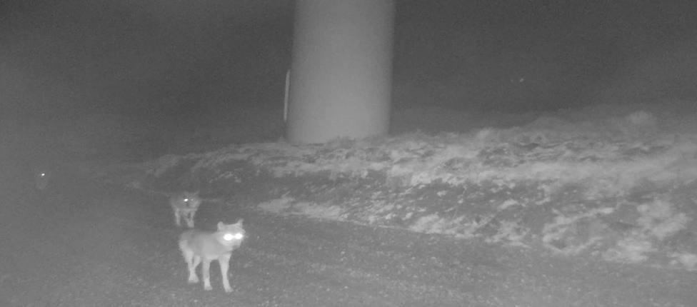 Imagen de tres lobos en las proximidades de un aerogenerador - FOTO: Endesa
