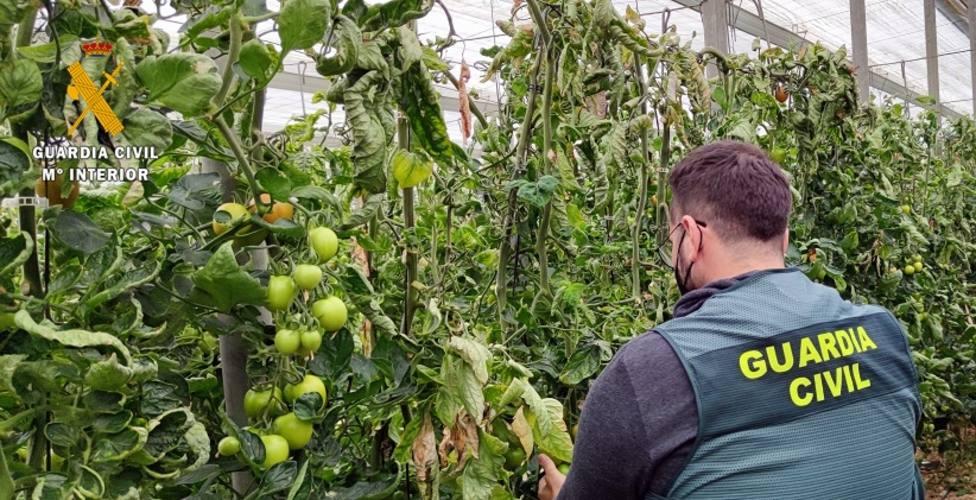 Detenido por robar 150 kilos de tomate en invernaderos de El Ejido y La Mojonera