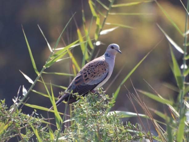 SEO/BirdLife pide prohibir la caza de tórtola en el marco de un plan de gestión sostenible para la especie a largo plazo
