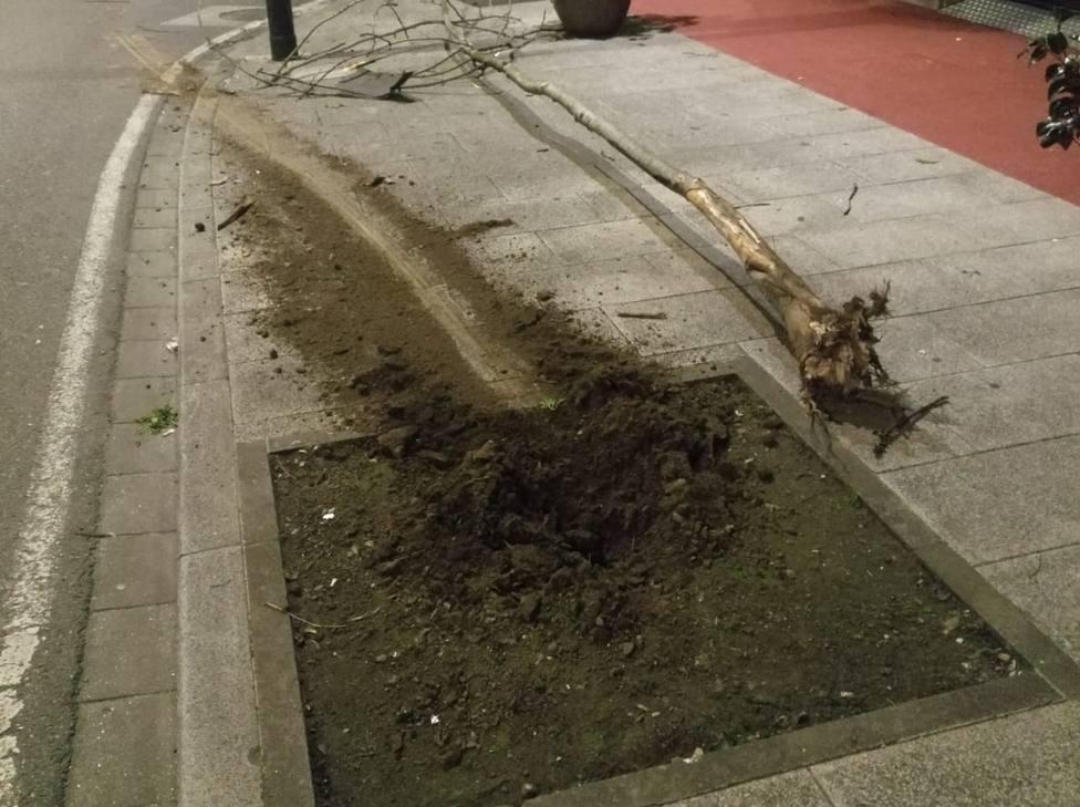 Árbol derrivado a la altura del número 286 de la carretera de Castila
