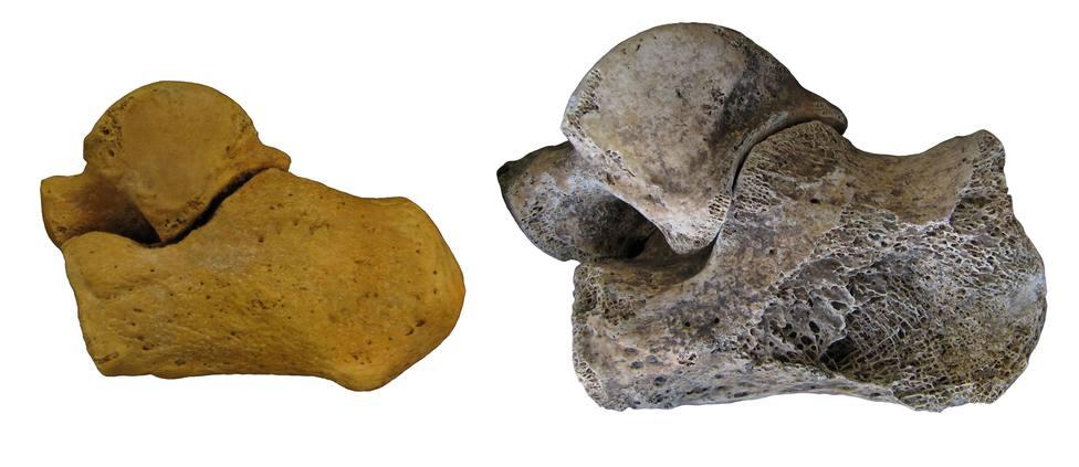 Estudio sobre sexto en fósiles