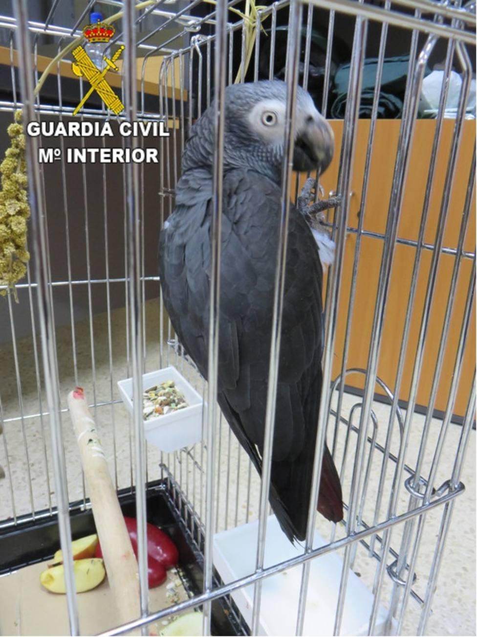 Encuentran un loro en peligro de extinción enjaulado en una asociación cannábica en Gran Canaria