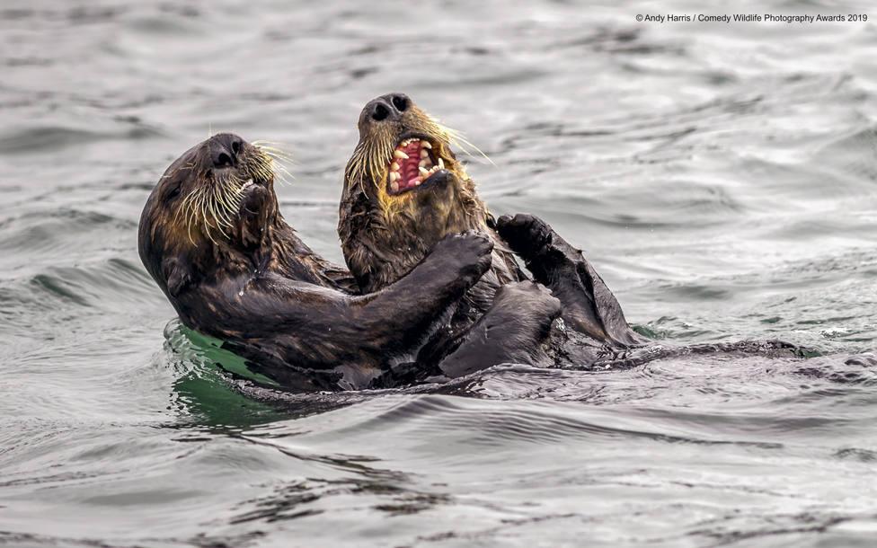 ctv-z3v-840884andy-harris-sea-otter-tickle-fight-00000064jpg