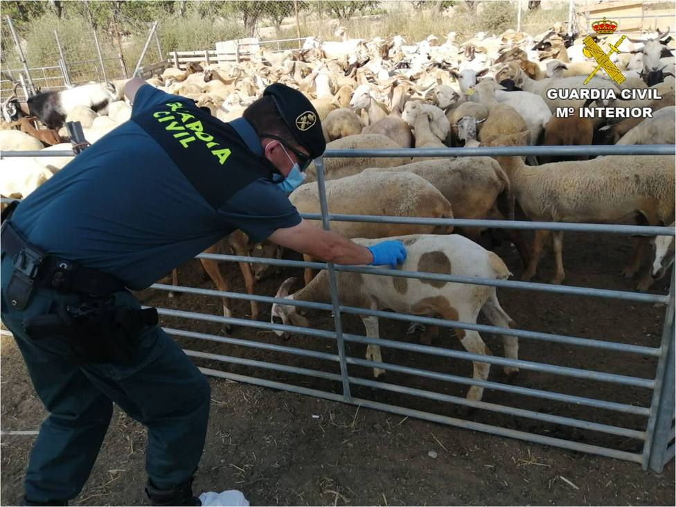 """La intención de la propietaria era vender al ganado en la """"Fiesta del cordero"""" (Guardia Civil)"""