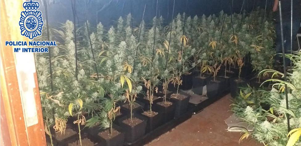 La Policía Nacional ha detenido a cuatro personas en dos operaciones contra el cultivo de marihuana