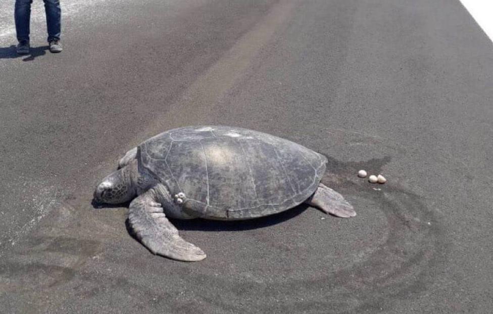 Una tortuga deja sus huevos en la pista de aterrizaje que antes era una playa