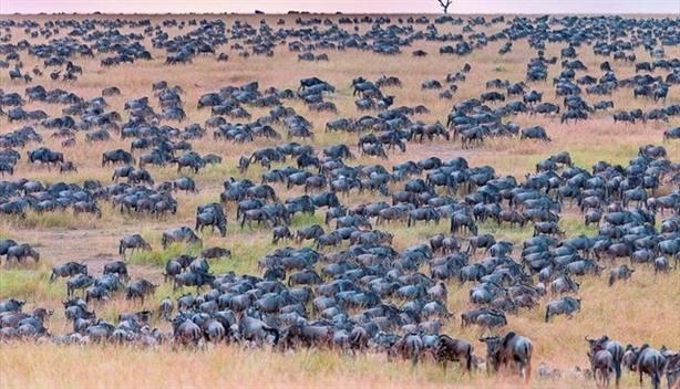 Reto visual   ¿Eres capaz de encontrar a la cebra camuflada entre esta manada de ñus?
