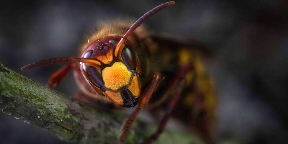 Los apicultores piden medidas para que no llegue a Galicia la avispa mandarina