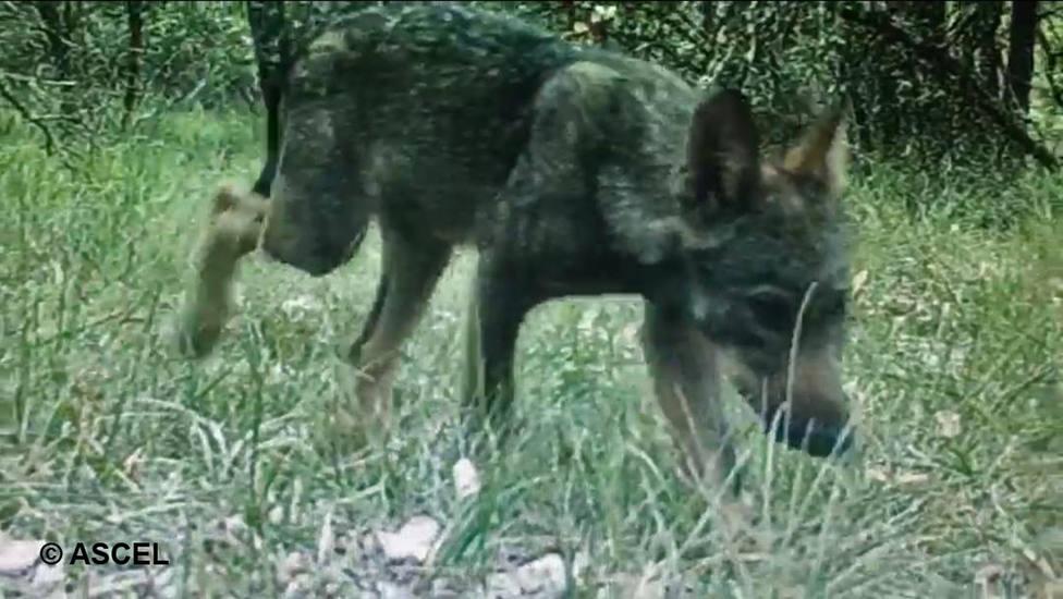 Cachorro Lobo CyL