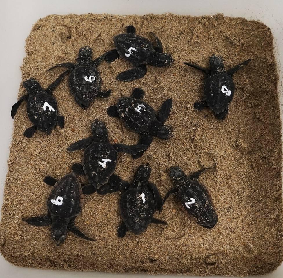 Nueve tortugas ya han nacido de los 113 huevos desovados en la playa de El Serradal de Castellón