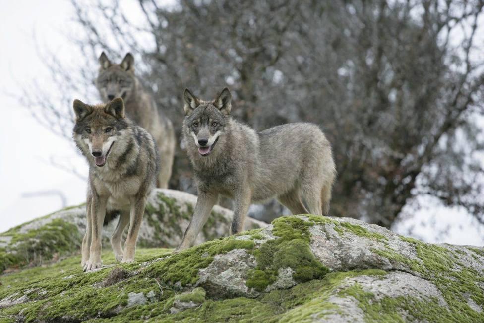Se permitirá la caza de 34 lobos