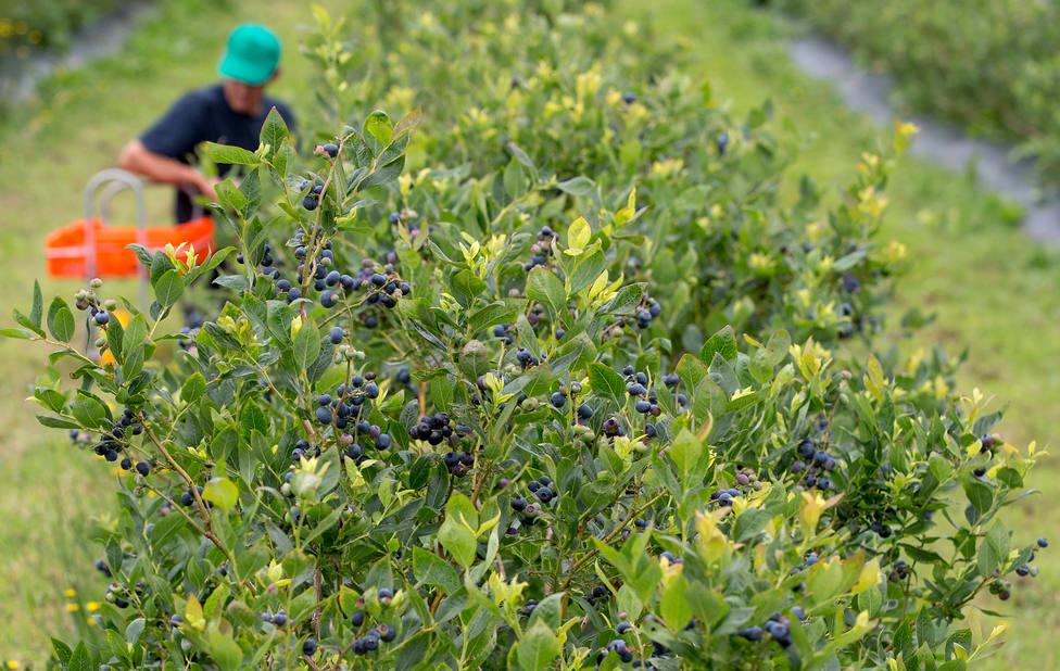 Los arándanos se recogen en los meses centrales del verano - FOTO: Bio Fruit Farmers