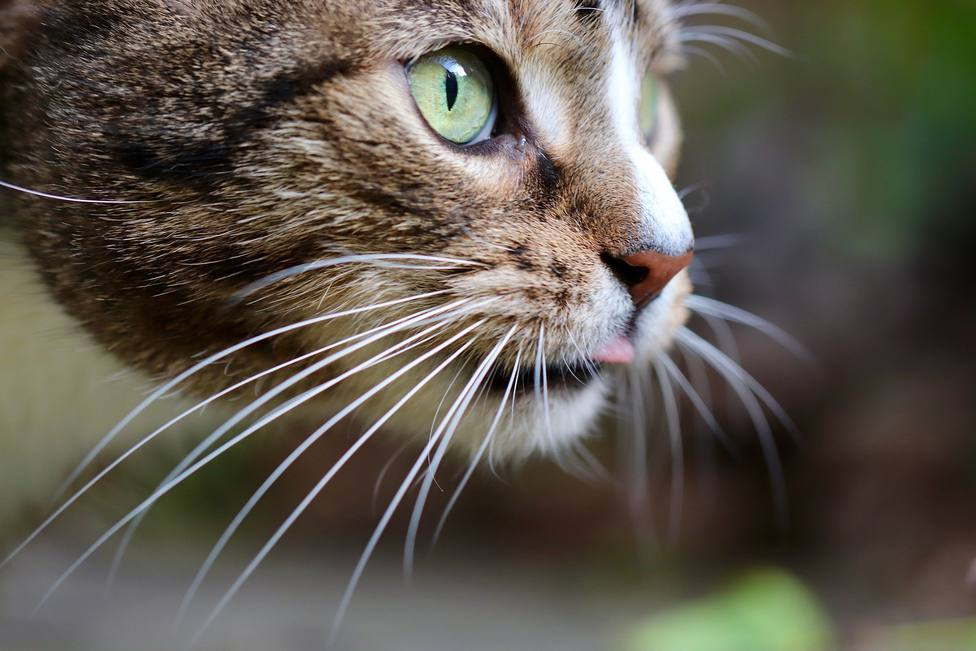 Piden ayuda para rescatar a un gato atrapado por la lava en La Palma
