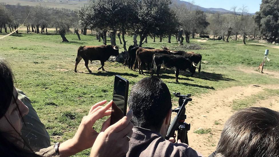 Los corresponsales han podido conocer al toro en su hábitat natural