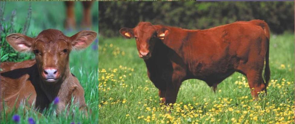 Crece el interés por la carne de vaca roja menorquina, según los ganaderos