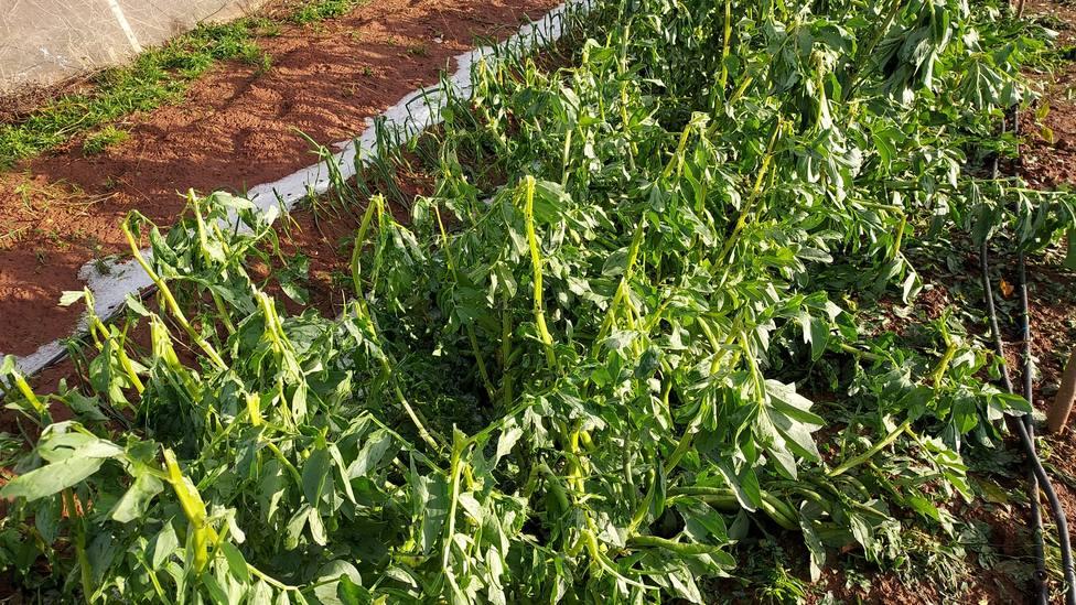 Los campos de hortalizas, además de los cítricos, se han visto afectados