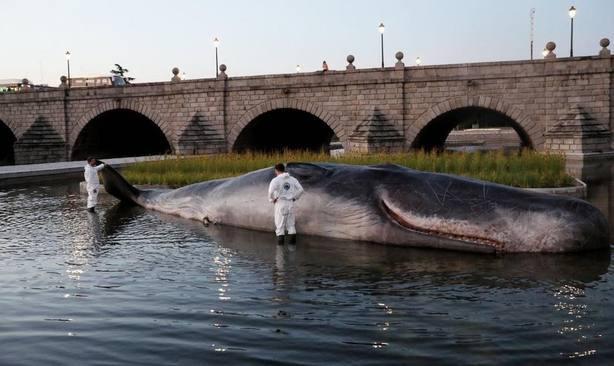 Un cachalote varado en el Manzanares denuncia el deterioro de los océanos