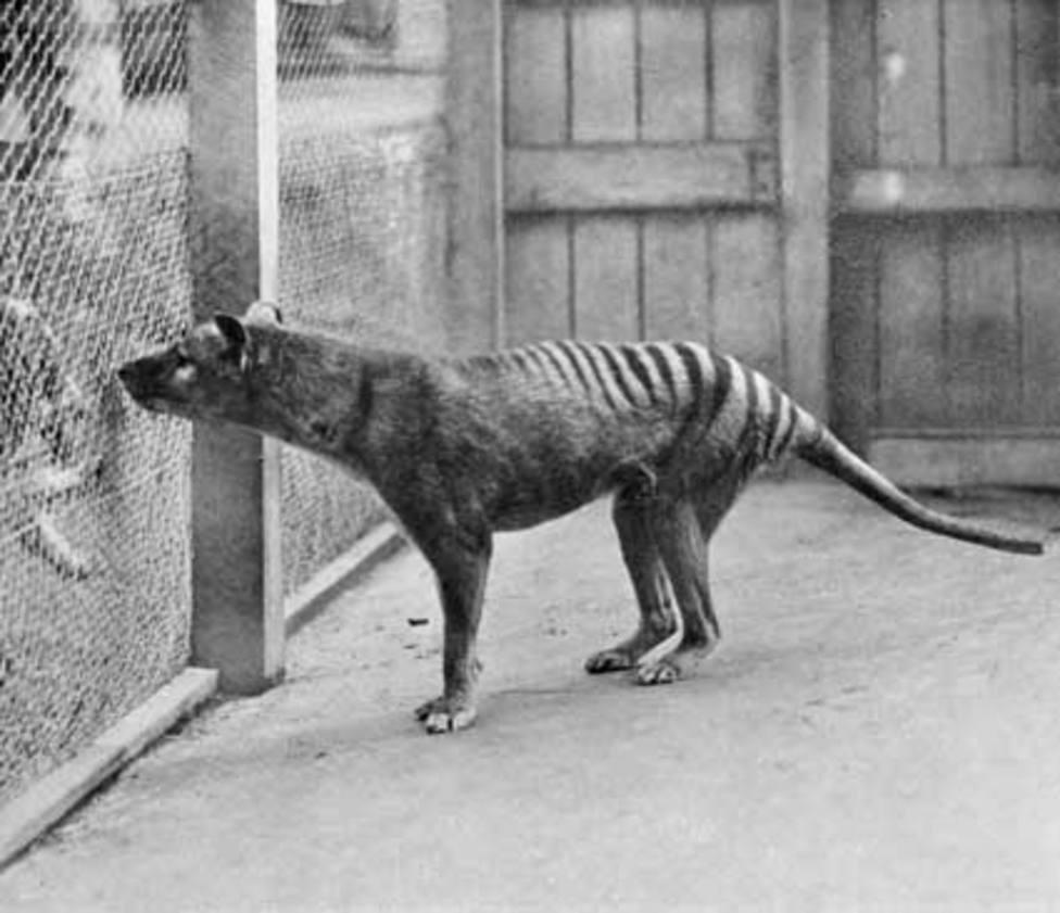 Así es el tigre de Tasmania, el animal extinto que ha sido visto ocho veces en los últimos tres años