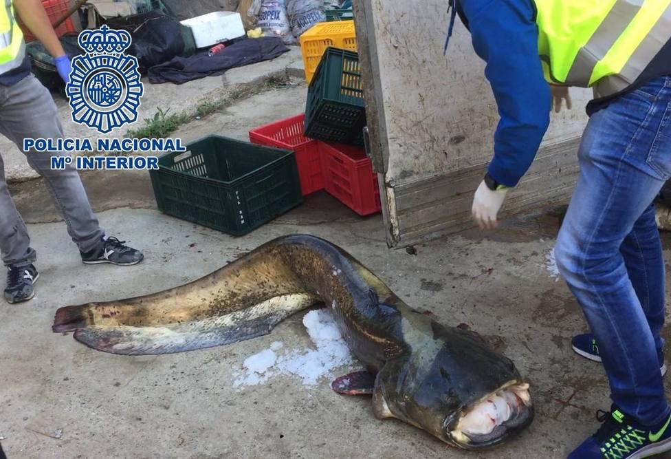 Siete detenidos por tráfico ilegal de carpas y siluros pescados ilegalmente en el Ebro y vendidos en el este de Europa
