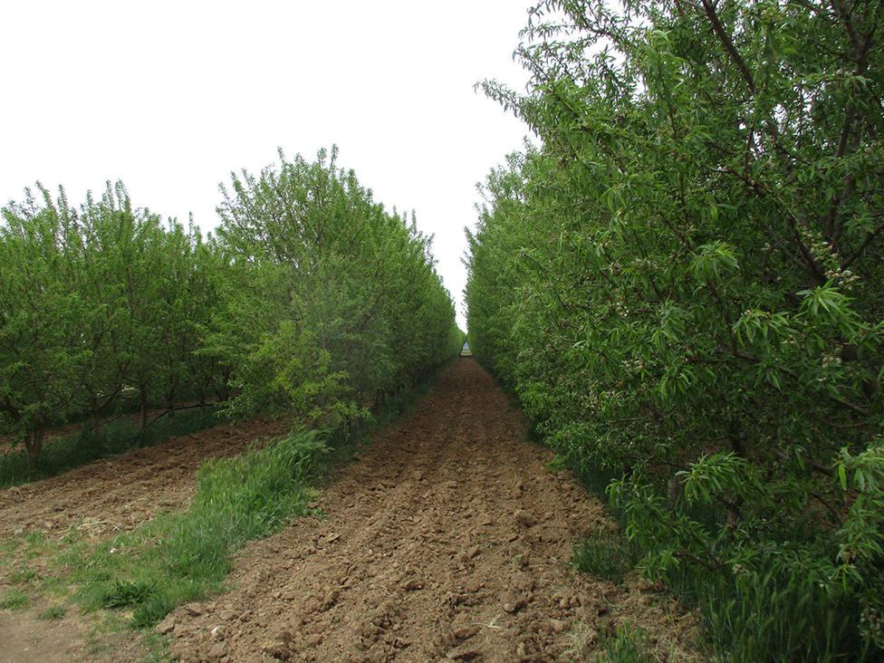 Cultivo de Almendros