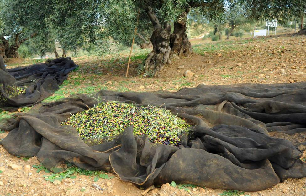 El peculiar método que utilizaba el ladrón de cinco toneladas de aceitunas en Jaén
