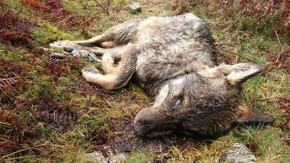 Unidas Podemos pide explicaciones en el Congreso por una batida de lobos en Xove
