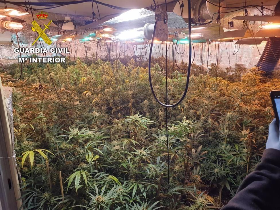 Detenidas tres personas por el cultivo de 732 plantas de marihuana en Noez