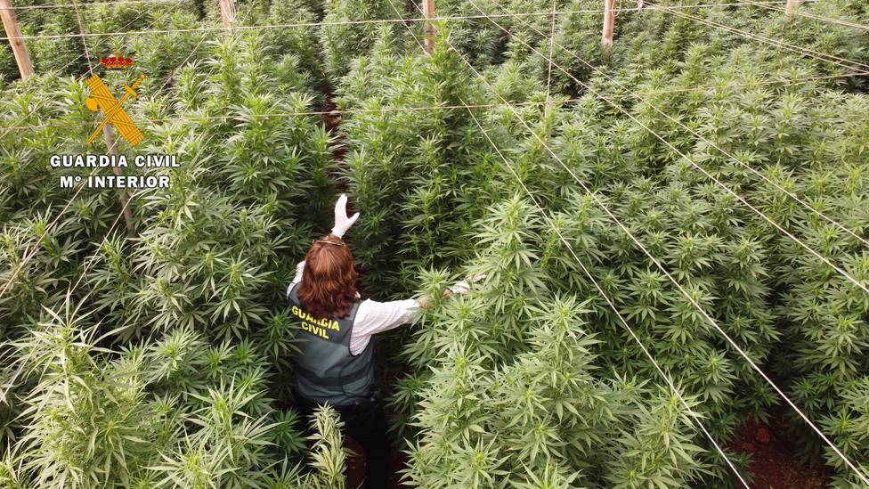 """La Guardia Civil de Almería interviene 125.000 plantas de """"cannabis"""" en ocho plantaciones de cáñamo"""