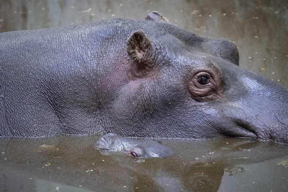 La hipopótama y su cría nacida en el Bioparc Valencia