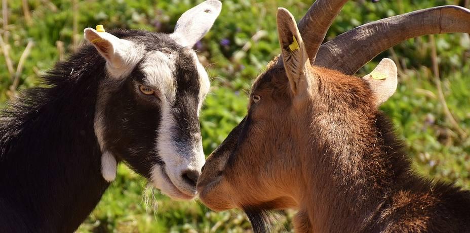 Medio centenar de cabras ocupan una lujosa urbanización de Mallorca