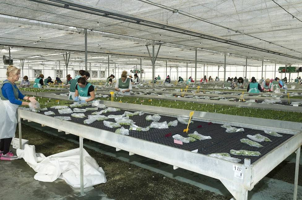 Ayuntamiento solicita al Gobierno ayudas para paliar las consecuencias económicas sobre el sector flor cortada