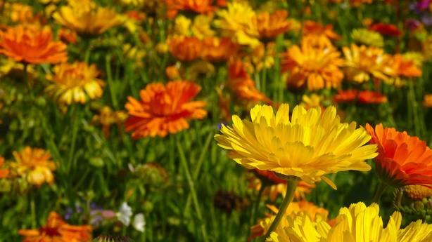 ctv-fgj-marigold-555811 960 720