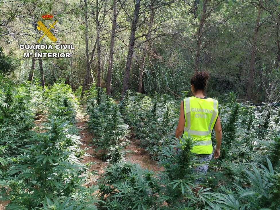 Plantación de marihuana en Torrechiva (Castellón)