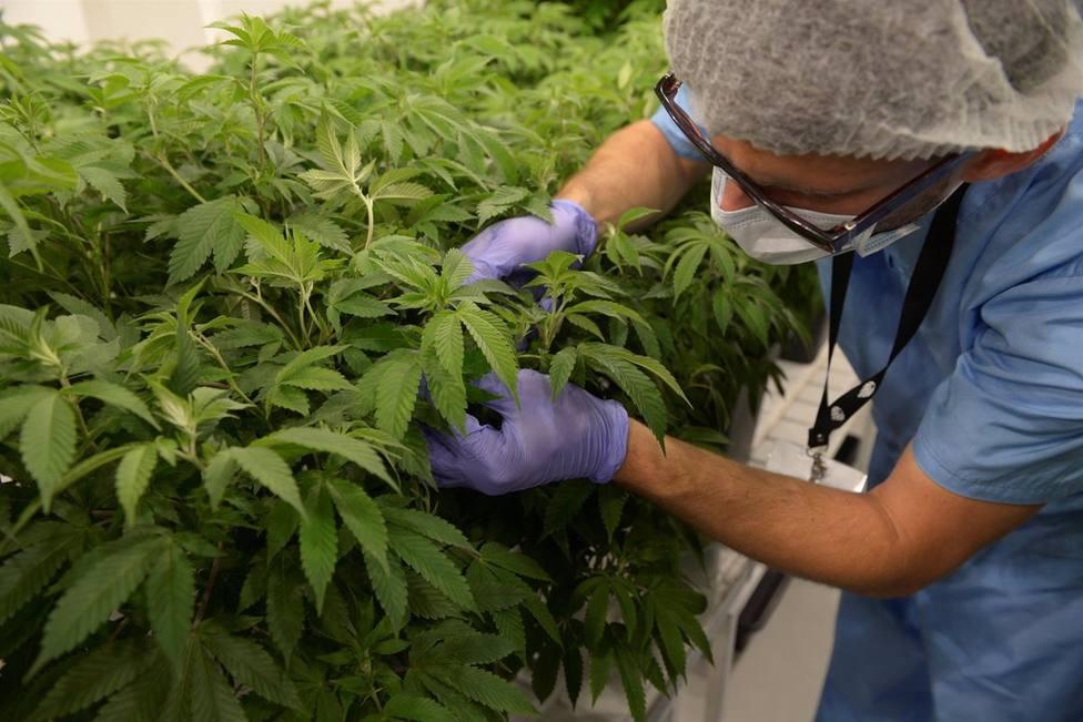 Un trabajador de Fotmer Life Science con plantas de marihuana en un laboratorio de la empresa en Montevideo, Uruguay