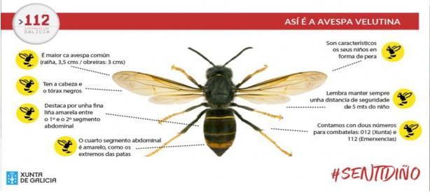 Cómo diferenciar una avispa asiática de un avispón gallego