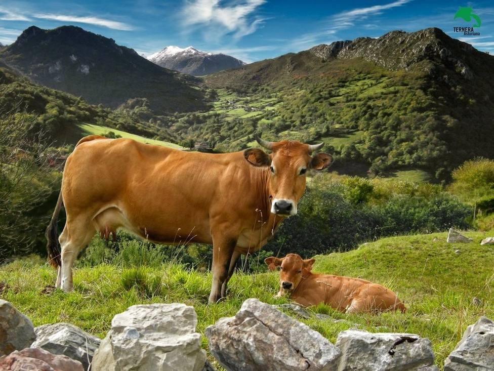 Foto dos ejemplares de ternera asturiana IGP (Europa Press)