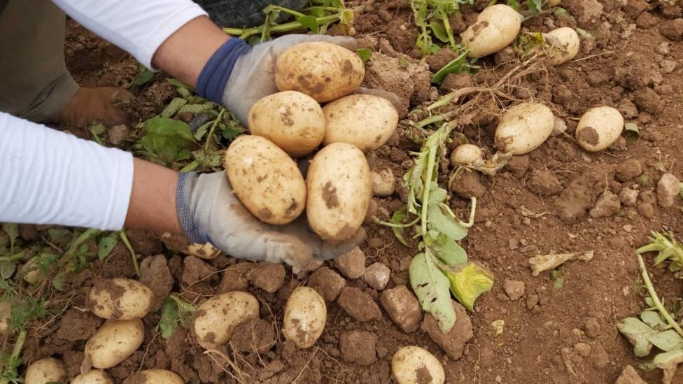 COAG alerta que el sector de la patata de Murcia afronta la peor crisis de la última década