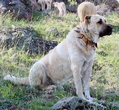 Un perro pastor defiende a una oveja de un lobo y esta es su sorprendente reacción
