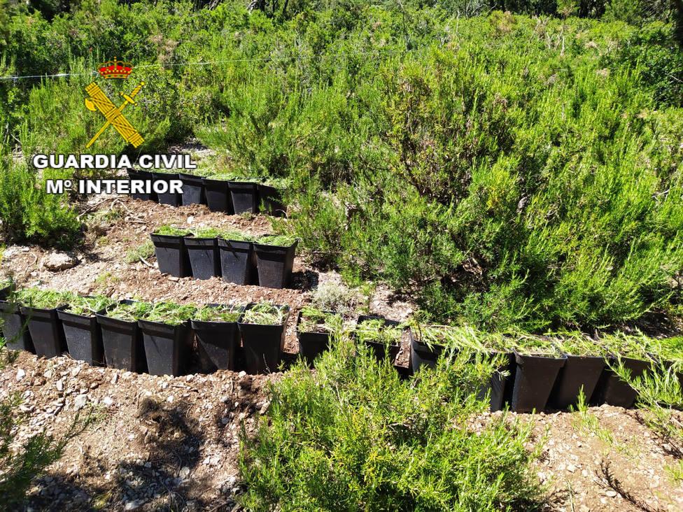 Cultivo de marihuana desmantelado por la Guardia Civil en Vallivana