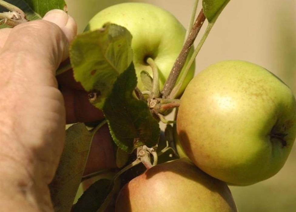 Foto de manzanas en el árbol (Europa Press)