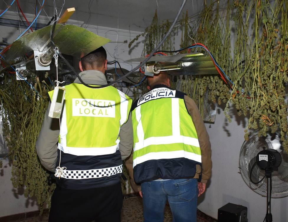 Desmantelada una plantación de marihuana en una casa de El Calvario