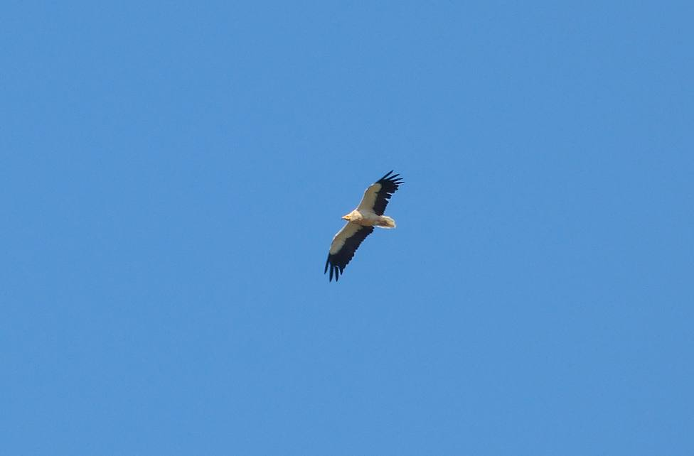 SEO/BirdLife marca 86 aves con GPS para conocer sus rutas migratorias