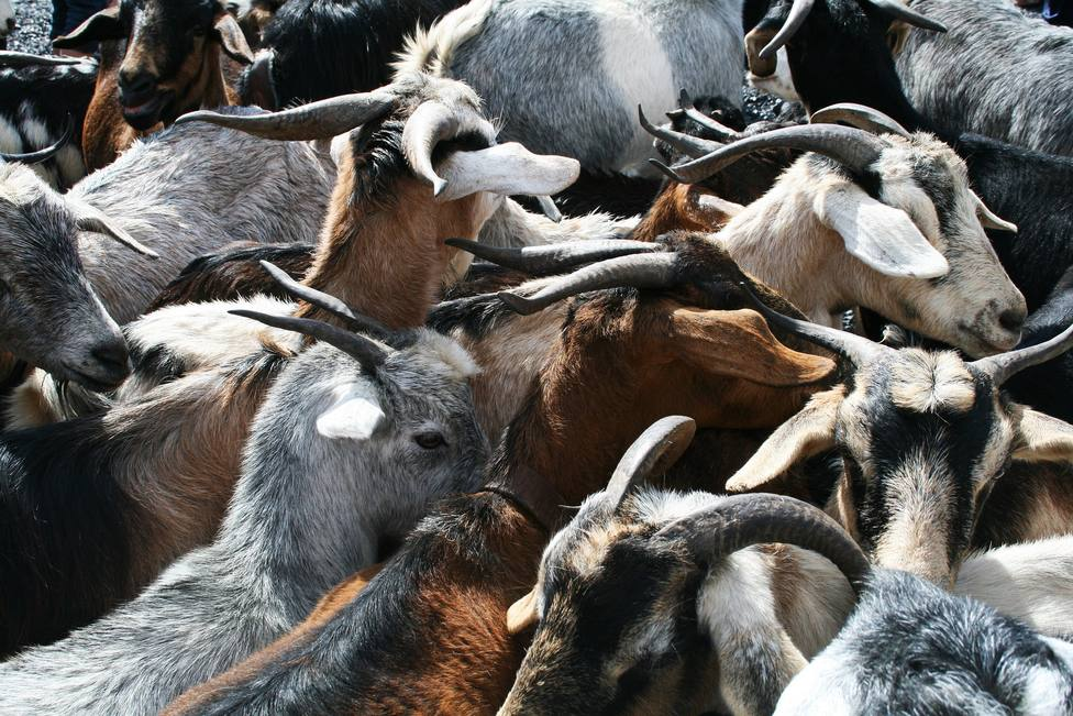 ctv-yux-goats-1582770 1920