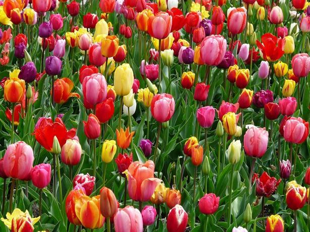 ctv-bdq-tulips-52125 960 720