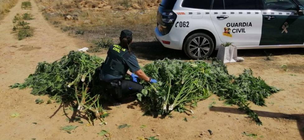 Plantas de marihuana localizadas en Almazán